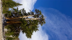 Timelapse of Cloud Formation over Ancient Bristlecone Pine Tree -Vertical- Stock Footage