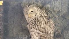 Ural owl (Strix uralensis). Wildlife animal. Stock Footage