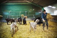 Woman in a stable with a small herd of goats scattering straw on the floor Stock Photos