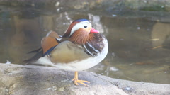 Closeup male mandarin duck (Aix galericulata) swimming, Stock Footage