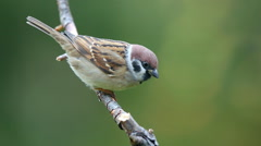 Tree sparrow bird perched on branch watching alerted Stock Footage
