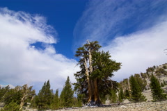 5K Timelapse of Cloud Formation over Ancient Bristlecone Pine Tree  Stock Footage