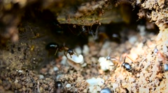 Closeup of ants with larvae Stock Footage