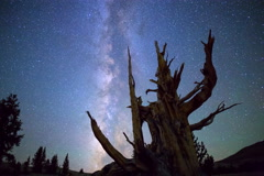 5K MoCo Astro Timelapse of Milky Way & Ancient Bristlecone Pine Tree  Stock Footage