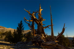 5K MoCo Timelapse of Ancient Bristlecone Pine Tree in Morning Sun  Stock Footage