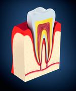 Section of the tooth. pulp with nerves and blood vessels. Stock Illustration