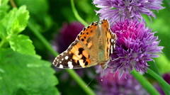 Painted lady butterfly on a flower Stock Footage