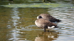 Canada Goose ( Branta canadensis ) on a Lake Stock Footage
