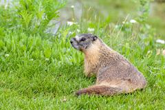 Hoary marmot (Marmota caligata) found in Alberta, Canada Stock Photos