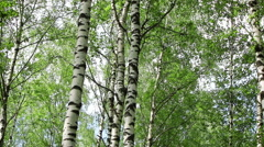 Birch trees in a forest Stock Footage