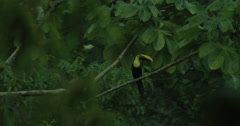 View of beautiful Toco Toucan walking on the tree branch in forest Stock Footage