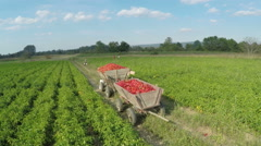 Tractor trailers filled with red peppers, harvest season, aerial view by Cutter. Stock Footage