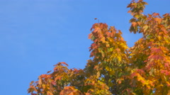 Beautiful multi-colored leaves on a tree. Gold foliage on a background of blu Stock Footage