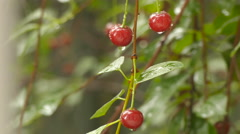 Close-up view on ripe red cherries under the rain drops. Summer ecological or Stock Footage