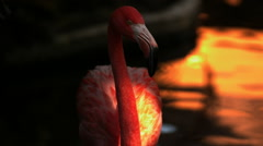 Tight Shot of a Pink Flamingo Wading in Water Stock Footage