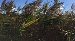 Scene in the middle of a dense river reeds in windy weather Stock Footage
