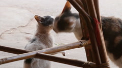 Stray cats. The mother-cat licks her kitten. Traditional asian tailless cats Stock Footage