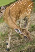 Marked deer hind Stock Photos