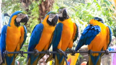 Four Blue-and-yellow macaw Ara ararauna , big clever bright parrots. Nong Nooch Stock Footage