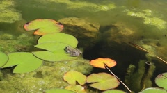 Frog sitting on a lily pad Stock Footage