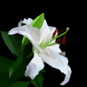 Flowers lily on black background. Flower symbol. . Geometric polygonal style Stock Illustration