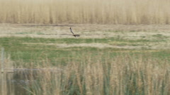 Male Western Marsh Harrier (Circus aeruginosus) collecting nesting material Stock Footage