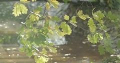 Yellow leaves on a branch swaying in the wind over the lake in slow motion Stock Footage