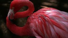 Close Up Shot of Pink Flamingo Stock Footage