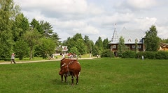Cow grazing in a tourist complex Upper Mandrogi Stock Footage