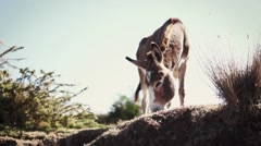 Donkey eating grass in arid climate Stock Footage