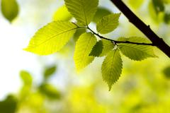 Green leaves on a branch Stock Photos