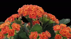 Time-lapse of opening orange kalanchoe flower in RGB + ALPHA matte format, top Stock Footage