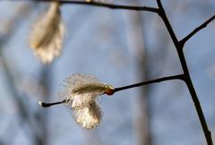 Willow catkins on the branches against the sky Stock Photos