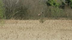 Male Western Marsh Harrier raptor (Circus aeruginosus) landing in a tree Stock Footage