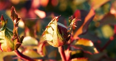 Red dying rose in autumn garden closeup footage Stock Footage