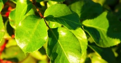 Fresh leaves of red and green color on top of rose twig Stock Footage