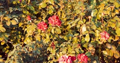 Rose bush covered with dying autumn roses of red color Stock Footage