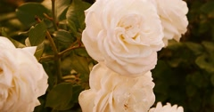 White roses in autumn time. Dying flowers in garden Stock Footage