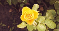 Yellow roses in rose-garden in autumn time set of toned footages Stock Footage