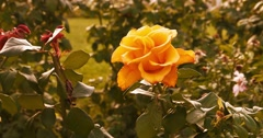 Autumn rosegarden. Rose flowers in fall season Arkistovideo