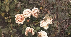 Dying copper flowers of rose in autumn garden toned Stock Footage