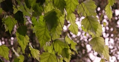 Deciduous forest. The sun shine through the leaves of birch Stock Footage