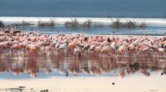 Flamingos at sunrise on the shore of lake bogoria, kenya Stock Footage