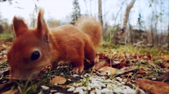 Squirrel red fur funny eating seeds autumn forest on background Stock Footage
