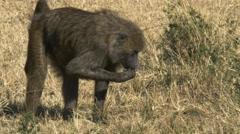 Tracking shot of a foraging baboon in masai mara, kenya Stock Footage