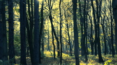 Yellow gold leaves falling in sunny autumn park. Stock Footage