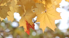Golden autumn, falling leaves, sunny day in autumn park. Stock Footage