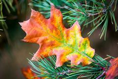 Autumn oak leaf on conifer branch Stock Photos