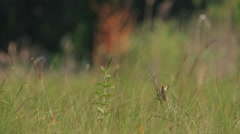 Aquatic Warbler. Male. Song. Stock Footage