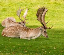 Fallow deer stags resting in summer sunshine, Tatton Park, Knutsford, Cheshir Stock Photos